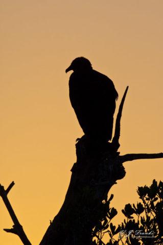 Black Vulture Silhouette