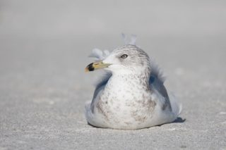 A ring billed gull.