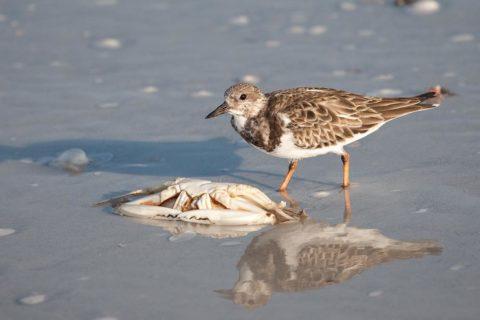 A Ruddy Turnstone feeding on a dead crab.