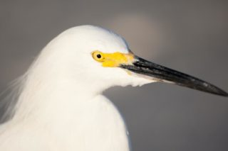 Snowy Egret portrait session