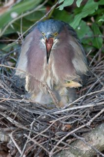Green Heron Nest and Chicks