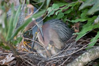 Green Herons, Nest and Chicks