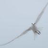 Sandwith Tern Flight in Fog