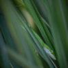 Green Anole in Lemon Grass