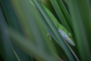 Green Anole in Lemon Grass