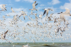 Sitting in a Flock of Terns