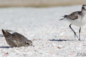 Black Bellied Plovers Dance