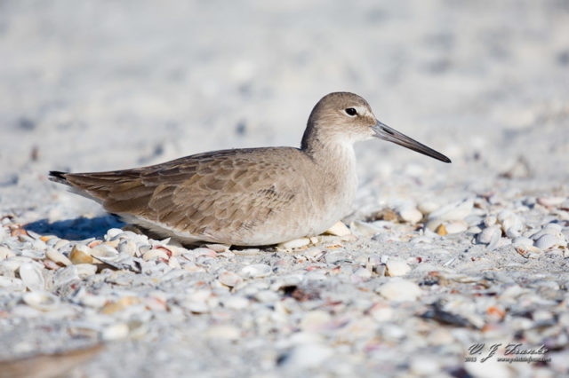 A Willet sits in the sand and shells. Sanibel Island, FL.