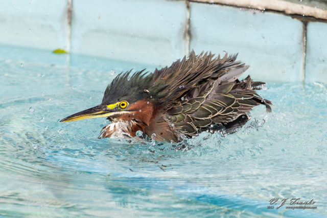 A Green Heron bathing in a swiming pool.