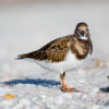 Ruddy Turnstone 2