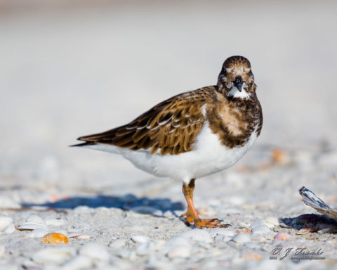 A Ruddy Turnstone in the shells. Sanibel Island, Fl