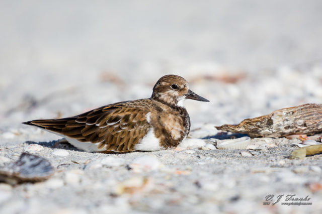 A Ruddy Turnstone sitting in the shells. Sanibel Island, FL.