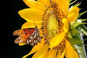 Gulf Fritillary on Sunflower 1