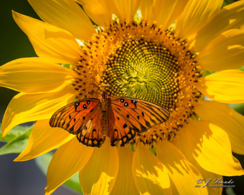 A Gulf Fritillary butterfly on a sunflower.