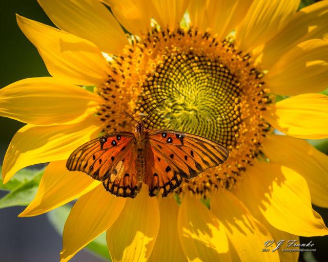 A Gulf Fritillary butterfly on a sunflower.