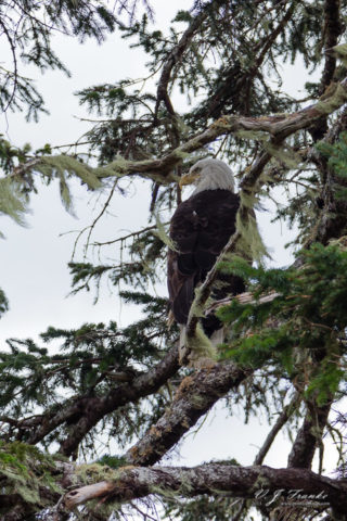 Eagle on Mount Roberts