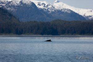 Alaskan Whale