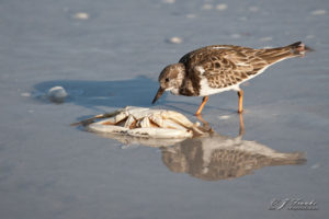 Turnstone and Crab
