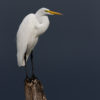 Great Egret and the Approaching Rain