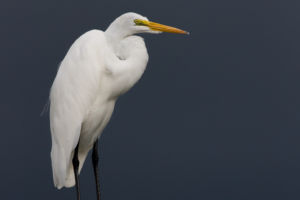Great Egret Storm