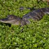 Juvinile American Alligator