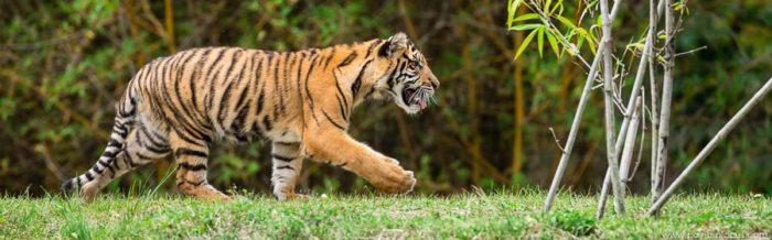 Sumatran Tigers at Zoo Miami lede