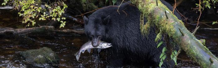 Black Bears of Revillagigedo Island (Ketchikan Alaska) lede